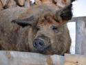 Maria das Wollschwein © Heike Kindermann